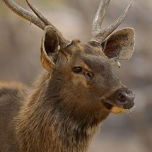 Male Sambar deer in Ranthambore national park