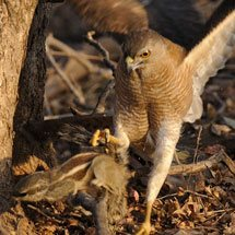 Shikra attacking a Five Striped Palm Squirrel on a branch in Ranthambhore