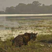Tiger at a lake in Ranthambhore national park at sunset