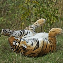 Tiger rolling in green grass of Ranthambhore after the monsoon rains