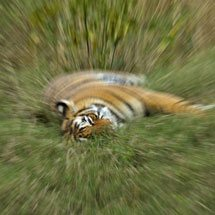 Abstract image of wild tiger in Ranthambhore using zoom burst